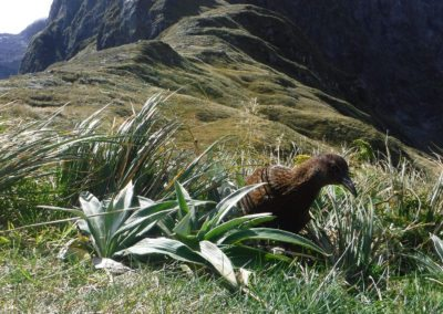A Weka Enjoying the Milford Track